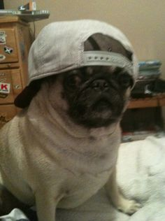 A pug bro with a backwards hat: | Proof That Pugs Make Literally Everything 100 Times Better
