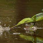 Correre sull'acqua | Animali capaci di farlo