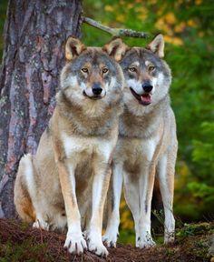 Pair Tattoos, Wolf World, Beautiful Wolves, Pet Fox, Wolf Spirit, Husky, God, Friends, Animals