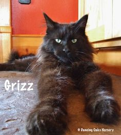 Grizz - The Black Cat - The Cats of Dancing Oaks Nursery - Grizz is an Oregon native and is a silver tip black with auburn highlights depending on how much sunbathing he does. He is one of the largest and longest, but still not huge at about 16 pounds. His purr is like an old Mercedes diesel. He is very shy with more than two people around. DancingOaks.com #gardening #cats #mainecoon