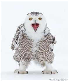 Wild Snowy Owl !!!  The Snowy Owl is a large owl of the typical owl family Strigidae. The Snowy Owl was first classified in 1758 by Carolus Linnaeus, the Swedish naturalist who developed binomial nomenclature to classify and organize plants and animals.    Photograph By: Miguel Lasa