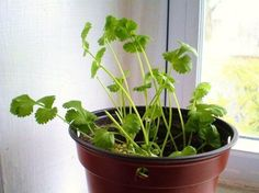 Cilantro is one of the most effective detoxifiers of heavy metals. Here is how to grow cilantro indoors. - Complete Health and Happiness Growing Veggies, Growing Herbs, Growing Flowers, Como Plantar Cilantro, Container Gardening, Gardening Tips, Culture Champignon, Regrow Vegetables, Potager Bio