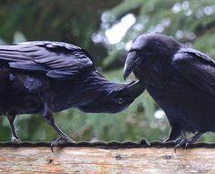 .Odin's Ravens Hugin & Munin