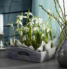 Keeping snowdrops indoors