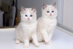 Ragdoll Kittens so pretty!