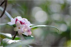 沈丁花(じんちょうげ)♪~ : 四季の色♪~こころに写して♪~~