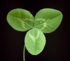 Wenn man Glück hat, dann findet man eins mit 4 Blättern.