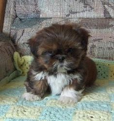 "Click visit site and Check out Best ""Shih Tzu"" T-shirts. This website is top-notch. Tip: You can search ""your name"" or ""your favorite shirts"" at search bar on the top. #ShihTzupuppy"