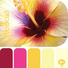 Hibiscus color swatch