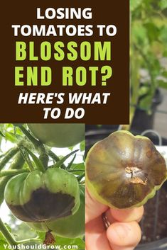 Growing tomatoes: How to deal with blossom end rot. Gardening should be fun! Don't stress over losing homegrown tomatoes anymore. Find out what treatments work and what doesn't. Gardening For Beginners | Organic Gardening | Backyard Vegetable Gardens #gardeningtips