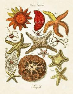 Bright, sunny and warm colors are perfect colors for these lively starfish. This print, taken from an antique scientific illustration, has been