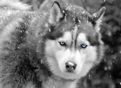 Siberian Husky ♡