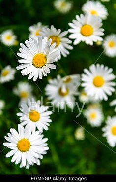Close-up of camomile flowers Stock Photo