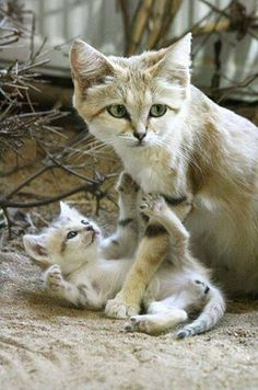 Wild Sand Cat Mother and Child. (Okay, not a big cat, but not a domesticated one, either.)