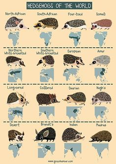 Meet the hedgehogs of the world in this brand new poster! Distributed across Europe, Africa and Asia (with the European Hedgehog also . Hedgehog Care, Pygmy Hedgehog, Cute Hedgehog, Diy Hedgehog Toys, Hedgehog Food, Animals And Pets, Baby Animals, Cute Animals, Weimaraner
