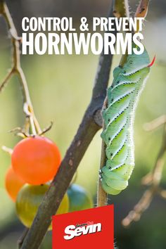 Hornworms grow up to 4 inches in length, can get as fat as a finger, and have curved, posterior horns to boot. Garden Bugs, Garden Insects, Garden Yard Ideas, Garden Pests, Lawn And Garden, Plant Pests, Home Vegetable Garden, Tomato Garden, Growing Veggies