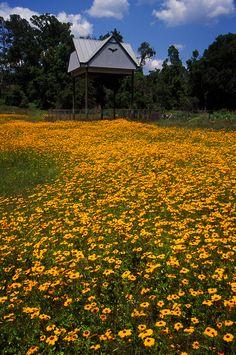 Wildflowers near the bat house & barn at UF's Lake Alice. Florida Girl, Florida Living, Gainesville Florida, University Of Florida, Cherry Blossom Tree, Sunshine State, Travel Memories, Staycation, Wild Flowers