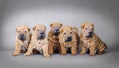 Sharpei puppies