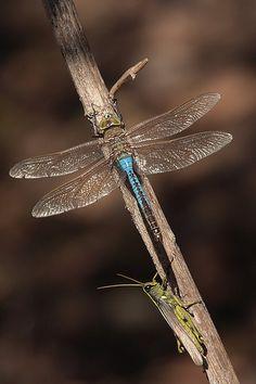 Dragonfly & Grasshopper