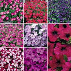 Winner of 3 All-America Selections and the rare Fleuroselect Gold Medal, the Wave Petunias have transformed American gardens with their super fast-growing, luxuriant, easy-care beauty. Our Petunia Wave Collection contains 1 packet each of all 8 Wave colors: Blue, Burgundy Star Easy Wave, Red Easy Wave, Rosy Dawn, Violet Easy Wave, Misty Lilac, Pink, and Purple Improved.