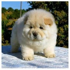 63 Best Fat Puppies Images On Pinterest Cute Dogs English