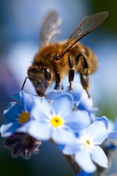 1415261. Honey bee drinking nectar from a Forget-me-not flower, in a garden in the UK.