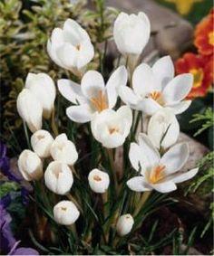 Crocus 'Purity'. Selections from the John Scheepers Beauty from Bulbs Dutch Flower Bulbs Catalog