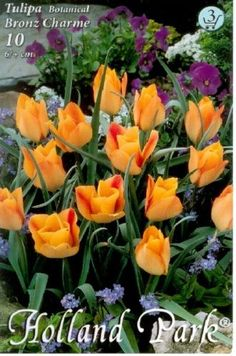 Tulipa batalinii 'Bronz Charme' - Botanikai tulipán Holland, Plants, Tulip, Glamour, The Nederlands, The Netherlands, Netherlands, Plant, Planets