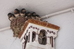Golondrinas or swallows in their nest at the Coviran supermarket in Comares.