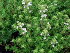 Olinka Priclová mne naučila uvařit si skvělý sirup na kašel.... a já se o to s vámi ráda podělím.... Thymus vulgaris je rostlina z čeledi hluchavkovitých. Jedná se o druh rodu mateřídouška pocházející ze Středomoří.