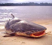 Peixe Piraíba   Peixes