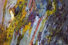 Jorg Dauerer / The colorful bark of a Snow Gum tree in Kosciuszko National Park in the Snowy Mountains, New South Wales, Australia