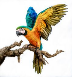 Blue and gold macaw Tropical Birds, Exotic Birds, Colorful Birds, Parrot Drawing, Parrot Painting, Bird Drawings, Animal Drawings, Beautiful Birds, Animals Beautiful