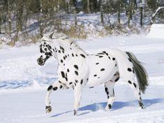 Appaloosa Horse - Appaloosas | Horse Pictures