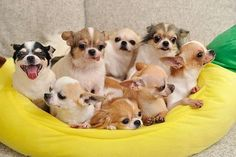 The Chihuahua Clan, love the one with his tongue hanging out the side <3