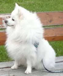 Image result for volpino italiano puppies