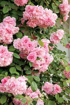 A great choice for fences, columns, and trellises, this lightly fragrant rose requires no special care.