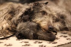 snug hug on a rug-Irish Wolfhound; lovely photo for single bedroom. Big Dogs, Dogs And Puppies, Irish Cottage, Irish Wolfhound, Cottage Interiors, Snug, Creatures, Single Bedroom, Animals