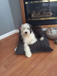 8mth old old English sheepdog  Kitchener / Waterloo Kitchener Area image 2