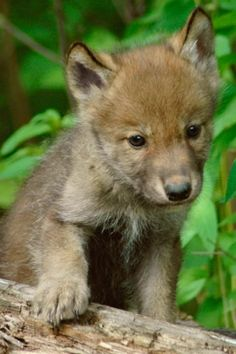 This wolf pup is one of the cutest wild animals I've ever seen.