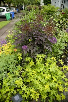 Geranium 'Ann Folkard', Clematis recta purpurea, Allium 'Purple Sensation', Columbine 'Tequila Sunrise', Agastache 'Golden Jubilee' with Miscanthus 'Malepartus' and Eutrochium (Eupatorium) 'Gateway' in the background - Spring 2011