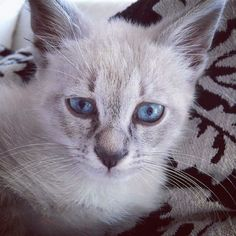 "@paridethecat: ""Italian lynx point siamese don't be fooled by my blue eyes I'm a rascal.""   #cutecatskittens #cat #love #cats #instacat #instacats #catstagram  #cats_of_instagram #catsofinstagram #meow #animals #animal #pet #pets #cute #cutecat #kittens #lovecats #instaphoto #awesome #nofilter #followforfollow #follow4follow #picoftheday #kitten #petoftheday #adorable #catlover"