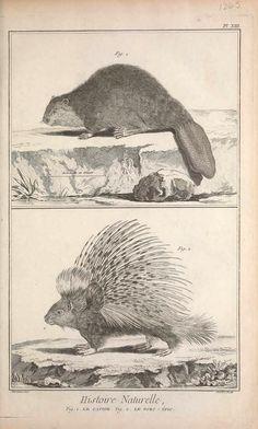 t.6 (1768) - Recueil de planches, sur les sciences, les arts libéraux, et les arts méchaniques : volume 6 natural history illustrations, Beaver and porcupine
