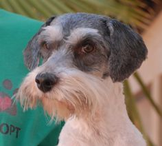 Professor is an inquisitive and earnest young Miniature Schnauzer mix seeking a peaceful and stable home for life.  He is 3 years of age, neutered, good with other dogs, and debuting for adoption today at Nevada SPCA (www.nevadaspca.org).  Professor was at another shelter that asked for our help.  He has permanent head tilt due to an old head or ear injury, but otherwise runs and plays without problems.  Please help find a forever home for Professor.