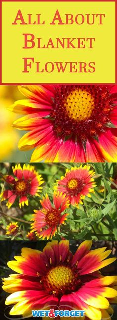 Meet the blanket flower! This colorful beauty is hardy almost anywhere in the U.S. and is extremely low maintenance. This no-fuss perennial even blooms the first year out, so you can start enjoying it right away. Read on to learn more about this carefree firecracker!