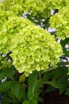 Hydrangea Paniculata, Hydrangea Potted, Hydrangea Seeds, Hydrangea Landscaping, Green Hydrangea, Flower Seeds, Flower Pots, Diy Flowers, Plants
