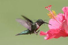 M nnliche Ruby throated Hummingbird archilochus colubris im Flug mit einem Hibiscus Flower Lizenzfreie Bilder