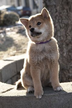 Akita...So much like Hachi Love My Dog, Hachi A Dogs Tale, Cute Puppies, Dogs And Puppies, Doggies, A Dog's Tale, Hachiko, Japanese Dogs, Akita Dog