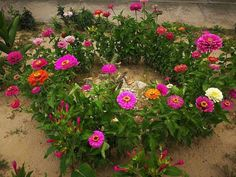 Ezer nevű legénycsalogató virág: zinnia | Balkonada