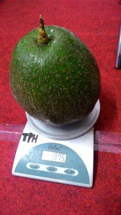 Great ALVOCADO from Purbalingga, Indonesia. When weighed,  this alvocado had measured 1875 grams.
